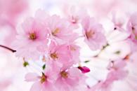 Różowe fototapety