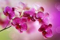 Fototapety orchidea