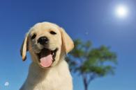 Fototapety Labrador
