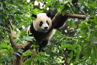 Fototapety Panda