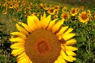 Fototapety słoneczniki