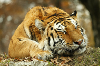Fototapety tygrys