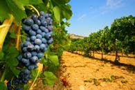 Fototapety winogrona