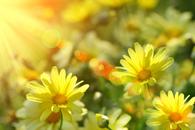 Fototapeta żółta